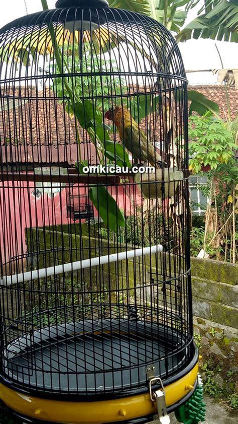 Harga Pakan Burung Skm lovebird ewon milik om anto wonosobo rajin cetak quattrick