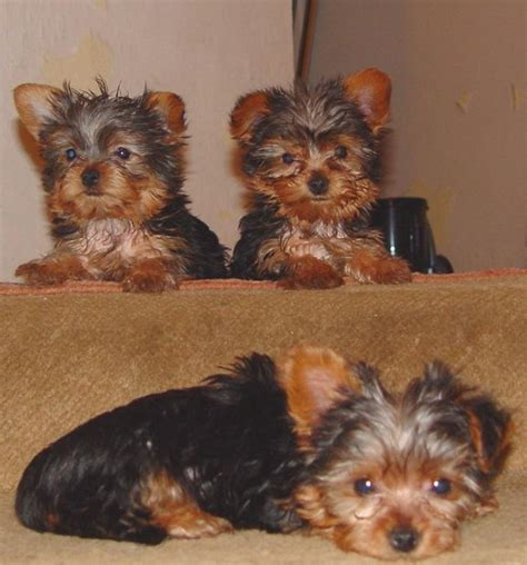 yorkie puppies in hawaii yorkie puppies jpg hi res 720p hd