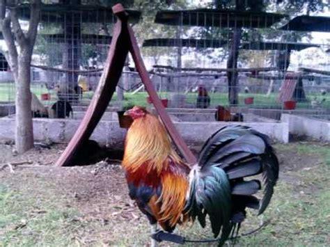 gallos de peleas de vicente fernndez videos youtube vicente fernandez pelea de gallos