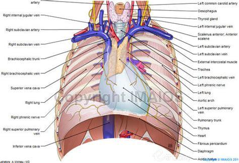 chest anatomy diagram mediastinum anatomical illustrations