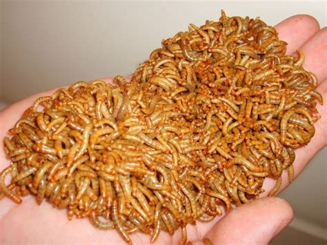 pg 2 listing for mealworms quot buy it now quot camillies