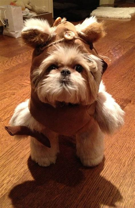 shih tzu treats healthy treats for your shih tzu what to look for and what to avoid shih tzu daily