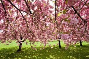 Patio Cherry Tree Ciliegio Da Fiore Alberi Ciliegio Da Fiore