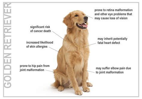 golden retriever stomach problems health risks for seven top breeds canna pet 174