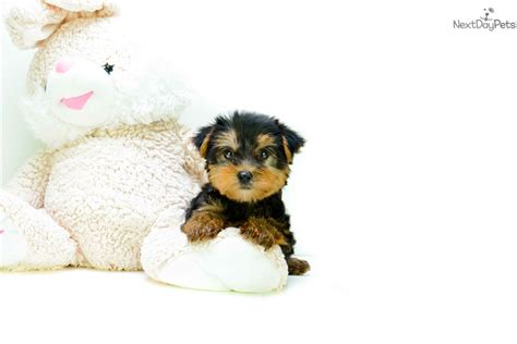 teacup puppies for sale in ohio 200 teacup timmy terrier yorkie puppy for sale near columbus ohio 293708f7