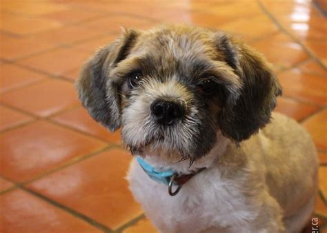shih tzu farm rescued shih tzu muffin is saved from abuse and neglect adopted dec 2014