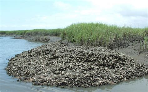 oyster beds image gallery oyster bed