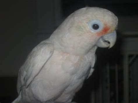 goffin cockatoo rescue in sw florida goffin cockatoo for sale adoption from spokane washington adpost classifieds gt usa