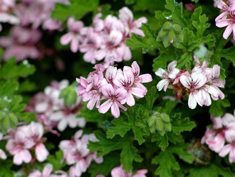fiori antizanzare piante antizanzare giardinaggio caratteristiche delle