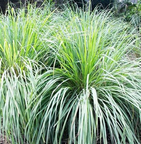 Lemon Grass In Planters by 17 Best Images About How Does Your Garden Grow On