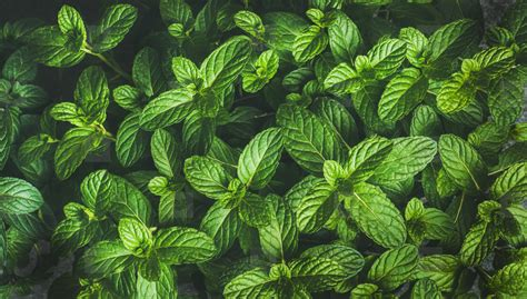 Photos - Fresh green pepper mint leaves texture ... Mint Leaves Wallpaper