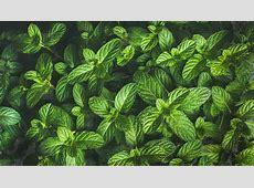 Photos - Fresh green pepper mint leaves texture ... Mint Leaves Wallpaper