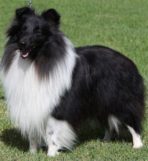 sheltie breed shetland sheepdog sheltie info puppies pictures temperament