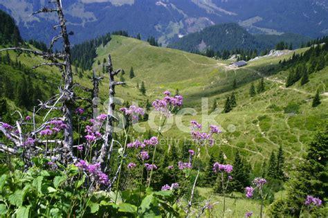 wilde bloemen in duitsland wilde bloemen in de bergen oberbayern stockfoto s