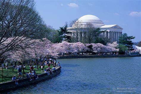 cherry trees in bloom washington dc usa branimir gjetvaj photography