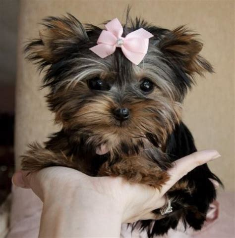 adopt a yorkie puppy for free teacup yorkie puppy for free adoption free classifieds