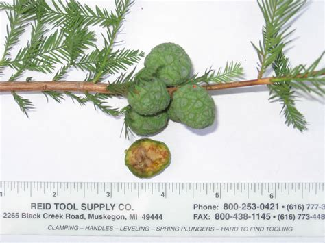 bald cypress balls ask an expert