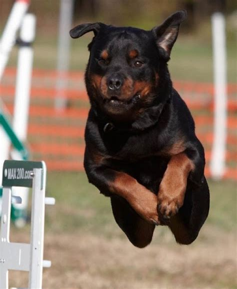 how many puppies can a rottweiler how fast a rottweiler can run many