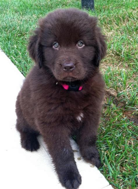 pictures of newfoundland puppies newfoundland newfoundland puppies and puppys on
