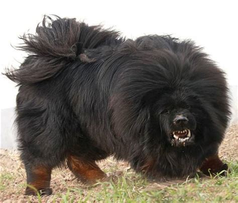 Most Dangerous Dog Top 20 With Picture   Dog Breeds Picture