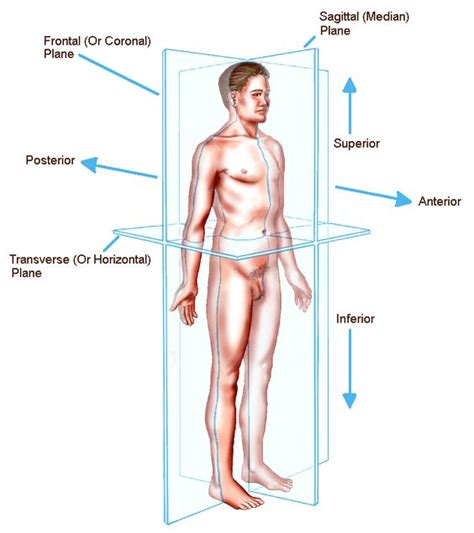 introduction to sectional anatomy planes of the human body the anatomical position