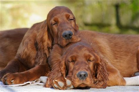 red setter dog weight 25 best images about gorgeous on pinterest irish