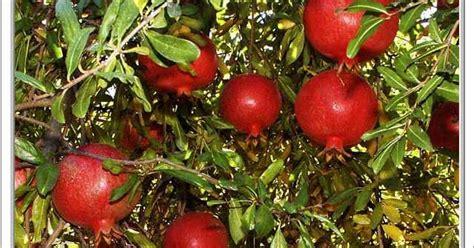 Tanaman Delima India Berkualitas ibucici pomegranate delima merah pelindung kulit