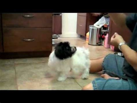 havanese tricks amazing adorable havanese at barkworld funnydog tv