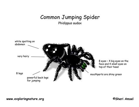 diagram of a black widow spider spider common jumping