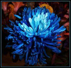 25 Best Growing Chrysanthemums (Mums) for Show images in