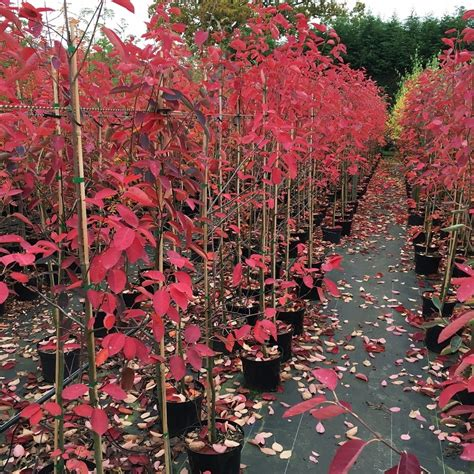 Large Pink Flowering Shrub - amelanchier lamarckii single amp multi stem trees snowy mespilus