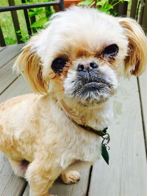 shih tzu brussels griffon mix dogs can rbf brussels griffon shih tzu mix