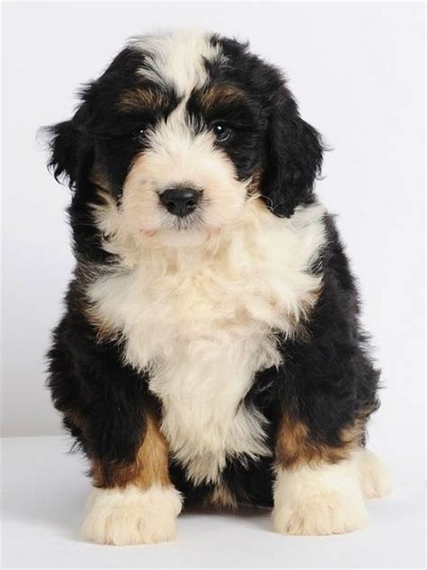 mini bernedoodle puppies pin mini bernedoodles on dogster on
