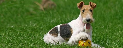Wire Fox Terrier Shedding by Wire Fox Terrier Breed Health History Appearance