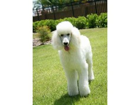 standard poodle puppies florida standard poodle breeders florida dogs our friends photo