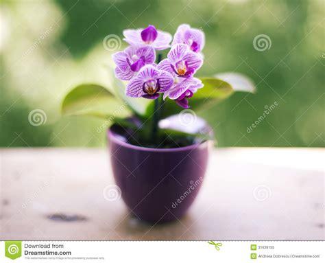 Fragrant Jasmine Plants - mini orchid royalty free stock photo image 31639155