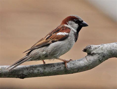 free download wallpaper hd sparrow bird high resolution