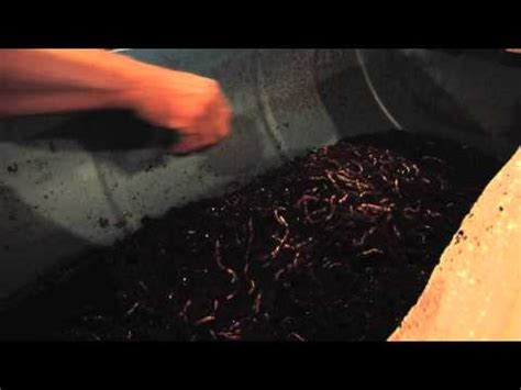 daphnia and bloodworm culture   funnycat.tv