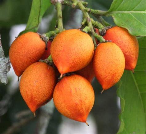 Tanaman Mangga Khieo Sawoi Tinggi 40 60 Cm tanaman kacang peanut butter fruit 40 60 cm bibitbunga