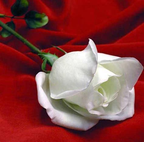 imagenes de rosa y mas image gallery hermosas rosas blancas