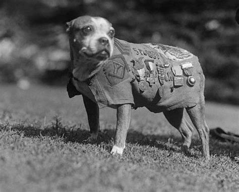 Sergeant Stubby Breed 1000 Ideas About War Dogs On Working Dogs Working Dogs And Dogs