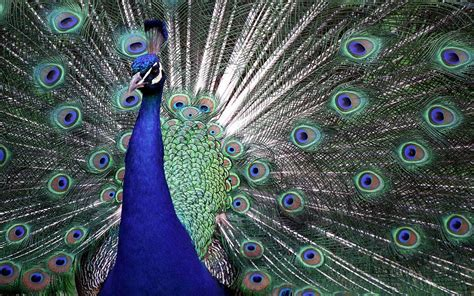 colors of a peacock wallpapers peacock wallpapers