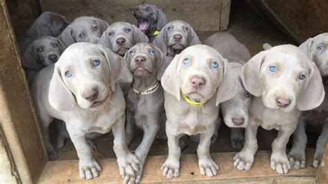 weimaraner colors shade of grey weimaraners home page