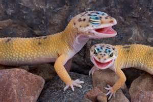 Eye problems in leopard geckos can be serious. So, my first