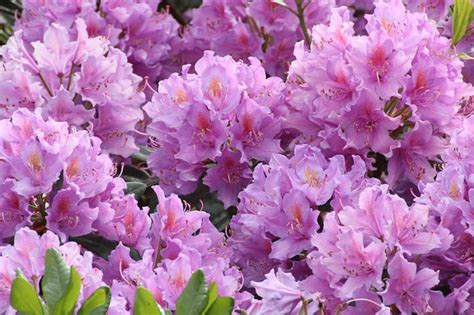 photo rhododendron flowers close  image