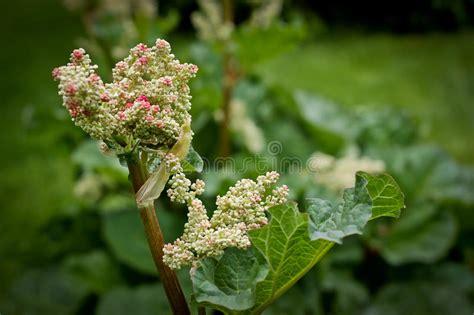 rabarber bloem het te voorschijn komen bloem van de tuin de verse