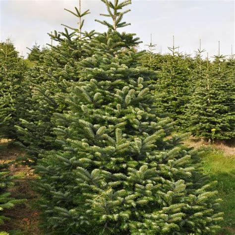 nordman fir send me a christmas tree