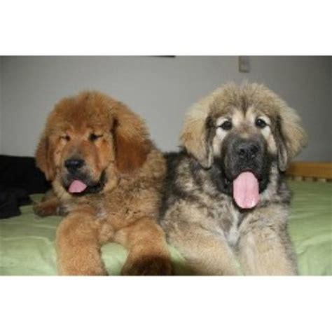 mastiff puppies colorado mastiff breeders in alberta freedoglistings breeds picture