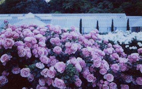 wallpaper bunga warna ungu arti bunga mawar ungu asmaraku