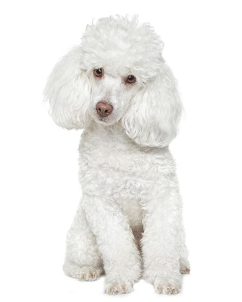poodle lifespan miniature poodle poodle puppies breed information puppies for sale
